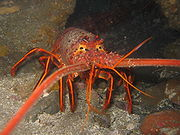 The California Spiny Lobster is a eaters delight. No claws on this one, but more meat in the tail.